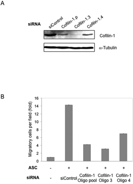 siRNA knock-down of Cofilin-1 in ASCs reduces their migration-promoting activity(A) Cofilin-1 knocked down in ASCs by siRNA using an oligo pool and individual oligos. α-Tubulin is used as loading control. (B) Cofilin-1-knockdown ASCs were tested in the Boyden-chamber migration assay using MDA-MB-231 cells.