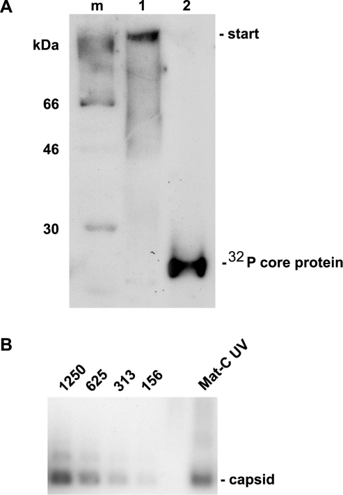 Analysis of cross-linked core particles.A. Lane 1: 32P-labelled Mat-C-UV and (lane 2) 32P-labelled Mat-C were separated on a 4–12% SDS-PAGE. Phosphoimaging showed that the core proteins of Mat-C-UV did not enter the separating gel indicating successful cross-linking. In contrast the core proteins of Mat-C migrated as a 21.5 kDa band. m: 14C-labelled molecular weight marker. B. Immune blot of Mat-C-UV and non cross-linked P-rC after native agarose gel electrophoresis. Mat-C-UV migrated as the P-rC standard indicating that the core proteins were linked within the individual capsids and that the capsids were not linked to each other. The identical migration indicates that UV irradiation has not changed the surface charge. The numbers on top of the standard dilution series give the amount of the P-rC in pg.