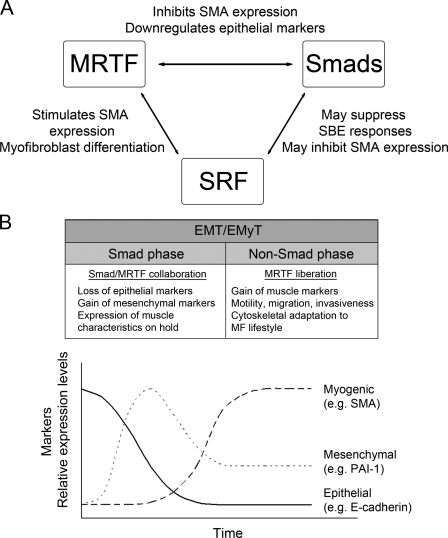 Smad3 is a critical delayer/timer of the MF commitment in epithelial cells. (A) Potential or tested consequences of various bilateral interactions among Smad3, MRTF, and SRF. (B) New model dissecting the process of EMyT into a Smad3-dependent (early/mesenchymal) and -independent/inhibited (late/myogenic) phase, and the proposed role of the Smad3–MRTF interaction or the lack thereof in various key events of EMyT.