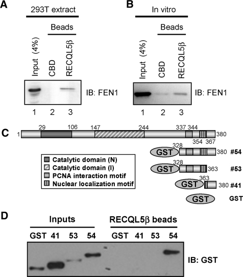 RECQL5β and FEN1 interact directly. Binding of FEN1 from 293T extracts (A) or purified FEN1 (B) to chitin beads coated with CBD or RECQL5β-CBD. (C) Diagram of GST-FEN1 fragments used to define which domain of FEN1 RECQL5β interacts with. (D) Binding of GST fused to various C-terminal fragments of FEN1 to chitin beads coated with RECQL5β-CBD.