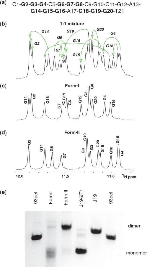 Imino proton NMR spectral patterns associated with form-I and form-II of the c-kit2 promoter. (a) Chemical sequence of the c-kit2 21-mer sequence. The guanine residues involved in G-quadruplex formation are shown in bold. (b) Imino proton NMR spectrum of a 1:1 mixture of c-kit2 T21 promoter form-I and form-II in slow equilibrium in 20 mM KCl, 5 mM phosphate, H2O buffer, pH 6.8 at 43°C. (c) Imino proton NMR spectrum of the c-kit2 T12/T21 promoter form-I in 20 mM KCl, 5 mM phosphate, H2O buffer, pH 6.8, at 25°C, with assignments listed over the spectrum. (d) Imino proton NMR spectrum of the c-kit2 T21 promoter form-II in 100 mM KCl, 5 mM phosphate, H2O buffer, pH 6.8, at 25°C, with assignments listed over the spectrum. The protocols for sample preparation of spectra in (b) to (d) are descried in text (e) Non-denaturing polyacrylamide gel electrophoresis (PAGE) analysis of c-kit2 T12/T21 (form-I) and c-kit2 T21 (form-II) in K+-containing solution. Migration markers are provided: 93del, an interlocked dimeric G-quadruplex (Phan et al., 2005); J19: a stacked dimeric G-quadruplex (Phan,A.T., unpublished data); J19 2T1: a monomeric propeller-type G-quadruplex (Phan,A.T., unpublished data).
