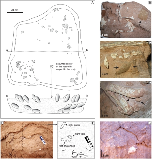 The nest of Nemegtomaia barsboldi, MPC-D 107/15.A, disposition of preserved eggs within the nest. Eggshells have been recovered under the skull (B), left pes (C) and leg (D), suggesting the direct apposition of the oviraptorid on top of the eggs. During the early excavation of the nest, it was possible to document a lower layer of eggs lying approximately 10 cm below the body (E–G).