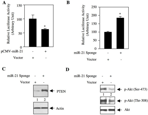 miR-21 regulates expression of PTEN in renal cancer cells.(A and B) ACHN cells were transfected with pCMV-miR-21 expression plasmid (A) or miR-21 Sponge (B) and vector along with PTEN 3′UTR-Luc reporter construct. The cell lysates were used to determine luciferase activity as described in the Materials and Methods. Mean ± SE of 6 measurements is shown. In panel A, *p  = 0.02 vs vector alone. In panel B, *p  = 0.002 vs vector alone. (C and D) Lysates of miR-21 Sponge-transfected ACHN cells were immunoblotted with PTEN and actin antibodies (panel C), and phospho-Akt (Ser-473), phospho-Akt (Thr-308) and Akt antibodies (panel D).