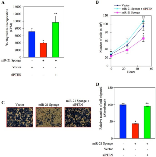 miR-21 targets PTEN to induce proliferation and migration of renal cancer cells.ACHN cells were transfected with miR-21 Sponge along with siRNA pools targeting PTEN mRNA as indicated. (A) 3H-thymidine incorporation was determined as described in the Materials and Methods[115]. Mean ± SE of 6 measurements is shown. *p<0.05 vs vector; **p<0.05 vs miR-21 Sponge-transfected cells. (B) Transfected cells were counted at indicated time periods. The symbols diamond, square and cross represent vector, miR-21 Sponge and miR-21 Sponge plus siRNA pool against PTEN, respectively. Mean ± SE of triplicate measurements is shown. *p<0.05 vs vector alone; **p<0.01 vs miR-21 Sponge alone. (C) Transfected cells were seeded onto membrane in trans-well chambers and the migrated cells were stained as described in the Materials and Methods[111]. (D) Stains from the membranes in panel C were eluted and absorbance at 590 nm was measured. Mean ± SE of 3 independent chambers is shown. *p<0.001 vs vector alone; **p<0.001 vs miR-21 Sponge.