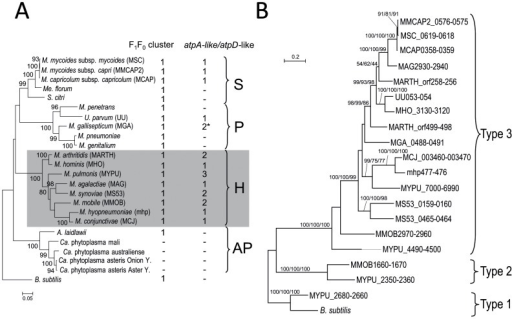 Distribution and evolution of extra copies of atpA-like and atpD-like genes in mollicutes.A. The number of typical F1F0 ATPase operons and of extra copies of atpA-like/atpD-like pairs of genes are indicated for each species. * In M. gallisepticum, one of the two extra copies only contains a truncated atpD-like gene. The 16S rDNA phylogenetic tree was generated by the ML method; bootstrap values of more than 50% are indicated. Bacillus subtilis was chosen as an outgroup species. Phylogenetic groups are indicated: S, Spiroplasma; H, Hominis; P, Pneumoniae; AP, Acholeplasma/Phytoplasma. Mnemonic codes are indicated in brackets besides species names when useful. B. The amino acid sequences of the proteins encoded by the atpA-like and atpD-like genes were concatenated and a multiple alignment was generated. Protein sequences of Type 1 atpA and atpD genes from M. pulmonis and B. subtilis (GenBank ID: atpA, NP_391564.1; atpD, NP_391562.1) were used as outgroup. The multiple sequence alignment was curated with GBLOCK to remove unreliable sites and a final round of manual editing was performed with Jalview. Phylogenetic trees were generated by ML, NJ and MP methods. The tree represented was obtained by the ML method. The aLRT/Bootstrap values corresponding to these three methods are indicated on the branches, in the following order: ML/NJ/MP. Sequences are labelled by their mnemonics, see also Table S2 for details.