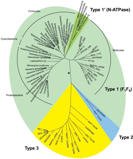 Evolution of atpA and atpA-like genes in bacteria.The phylogenetic tree was inferred from the amino acid sequences of ATPase alpha subunits encoded by atpA and atpA-like genes. Multiple alignment was generated with MUSCLE. The phylogenetic tree was generated by the ML method. Branches corresponding to Type 1, Type 1′, Type 2 and Type 3 proteins were supported by 96–100% bootstrap values. The ML, NJ, MP and ME methods generated trees with similar topologies, except alternative branching of N-ATPases using NJ or ME (indicated by a star). Main bacterial groups are indicated. Proteins from mollicutes are named by their mnemonics, others by the species name. See Table S2 for details.