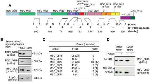Operon structure and expression of the genes of the Type 3 cluster in Mmm.A. RT-PCR experiments were carried out on intergenic regions to demonstrate the co-transcription of the MSC_0618 to MSC_0627 genes. The region of the genome region surrounding the Type 3 cluster in Mmm is shown. Gene mnemonics and numbers are shown for the Type 3 cluster. The site of transposon insertion in the MSC_0619 disrupted mutant (Δ619) is indicated by an arrow. Expected sizes of the putative transcripts are indicated. Amplification products of the expected sizes were obtained with primers binding within and upstream from the cluster (+) but not downstream from the cluster (−). B. Immunodetection of proteins from the Type 3 cluster of T1/44 and Δ619. A control for membrane protein detection was included, in the form of an antibody against a membrane protein, LppQ (anti-LppQ serum kindly supplied by Prof. J. Frey). C. Nano-LC-MS/MS detection of Type 3 ATPase proteins. Numbers of scans and distinct peptides detected are indicated. D. Evaluation of the sensitivity of Protein 5 and β-like subunit to trypsin degradation. Intact and lysed cells of Mmm T1/44 were incubated with (+) or without (−) trypsin enzyme coated on beads for six hours. Protection against hydrolysis was assessed by immunodetection with antibodies raised against Protein 5 (MSC_0620) and β-like subunit (MSC_0618).