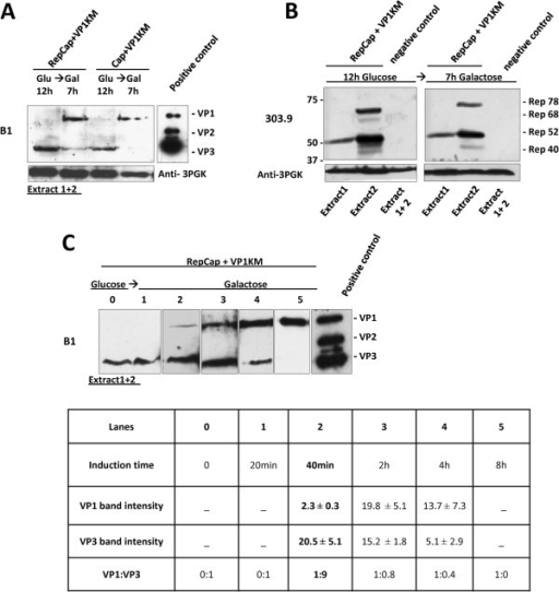 "VP1-VP3 expression pattern in co-transformed yeast clones. Cells co-transformed with YEplacp40Cap and pYESVP1KM (Cap + VP1KM clone) (A) and Rep expressing cells co-transformed with YEplacRepCap and pYESVP1KM (RepCap + VP1KM) (B), were grown on glucose and then transferred to galactose for induction. Equal amounts of total cellular proteins (extracts 1 + 2) were analyzed by Western blot, using mAb B1 to detect VP proteins. (A): VP3 was detected in both yeast clones after 12 h growth in glucose and it decreased along with VP1 induction upon 7 h in galactose. (B): Extracts from RepCap + VP1KM clones were analyzed for Rep protein expression before (12 h glucose) and after 7 h galactose growth, using mAb 303.9. Similar amounts and distribution of Rep isoforms to extracts 1/2 were detected in glucose and galactose samples. Extracts from cells co-transformed with empty vectors, YEplac181 and pYES2 were used as -control. (C): Lanes 0–5: VP1-VP3 expression pattern in total cell-extracts derived from RepCap + VP1KM clones before induction (""0"" time point) and at various times of galactose induction. VP1:VP3 ratios are determined band densitometry and shown in the table below. Numbers represent the density expressed in arbitrary unit detected by the analysis software described in materials and methods. Results are reported as mean of at least three independent experiments ± standard error. The best ratio was obtained after 40 minutes of galactose induction."