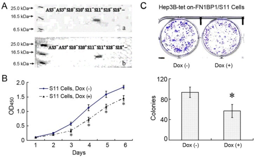 Inducing FN1BP1 expression in Hep3B cells reduced cell proliferation and colony formation.After screening in the medium containing hygromycin for more than 8 wk, a total of 33 independent Hyg-resistant cell lines were obtained from the Hep3B-Tet-on cells transfected with pTRE2hyg-FN1BP1. (A) The 11th sense clone of Hep3B Tet-On-FN1BP1 (marked as Hep3B-Tet-On-FN1BP1/S11) showed a positive band identified by either anti-HA tag antibody (a) or anti-FN1BP1 antibody (b) when the cells were induced by Dox. S10 and S18 represent the 10th and 18th sense clones of Hep3B Tet-On-FN1BP1. AS3 represents the third antisense clone of Hep3B Tet-On-FN1BP1, respectively. (B) The cell proliferation activity curve of 6 days shows that expression of FN1BP1 suppressed the Hep3B cell proliferation activity significantly from day 3 to day 6. The data are represented as mean ± SD, * P<0.05 vs non-induced S11 cells, n = 4. (C) The data indicate that the expression of FN1BP1 induced by Dox distinctly decreased the cell colony formation compared to non-induced Hep3B cells, *P<0.05, n = 4. The upper panel shows the representative figure, while the statistical result is shown in the lower panel.