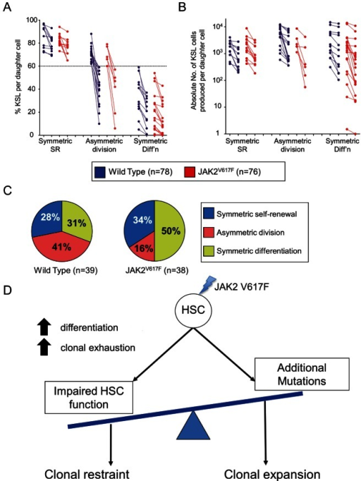 JAK2V617F alters the balance of HSC fate choices.(A) A paired daughter cell analysis of WT and JAK2V617F HSCs shows both daughters differentiate more often from JAK2V617F parent HSCs than from WT HSCs as shown by measuring the percentage of KSL cells remaining after 10 d. Each paired daughter set is connected by a line and the pairs are categorized into symmetric SR (both daughters above the WT average %KSL), asymmetric division (one daughter above and one below the average %KSL), and symmetric differentiation (both daughters below the average %KSL). Note the relative increase in symmetric differentiation at the expense of asymmetric divisions. (B) The same paired daughter pairs are displayed here by the absolute number of KSL cells produced. Here it is clear that some of the JAK2V617F pairs produce very few KSL cells (less than 100 per clone in some of the asymmetric divisions and symmetric differentiation divisions compared to WT HSCs, which are all above 100 KSL cells). (C) The pie graph on the left represents the outcome from 78 WT paired daughters (39 pairs), and the pie on the left represents the outcome from 76 mutant paired daughters (38 pairs). (D) Normally, HSCs will execute one of several programs in concert with the other HSCs to provide the requisite numbers of stem cells, progenitors, and differentiated cells for the organism. JAK2V617F disturbs this balance and increases the likelihood of differentiation. As HSCs with the V617F mutation age, they have both an increased chance of fully exhausting as well as an increased chance of progressing to a more severe disease state, likely due to the acquisition of additional genetic or epigenetic perturbations.