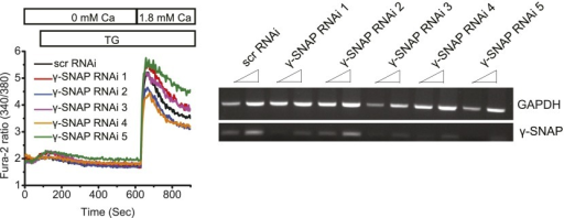 RNAi mediated depletion of γ-SNAP and measurement of SOCE.(Left Panel) Average Fura-2 ratios of HEK 293 cells transduced with scr RNAi or five different RNAi targeting γ-SNAP, and stimulated with TG to measure SOCE (using flexstation). (Right Panel) Semi-quantitative PCR on total RNA to assess the level of γ-SNAP mRNA depletion compared to GAPDH in RNAi treated cells.DOI:http://dx.doi.org/10.7554/eLife.00802.008