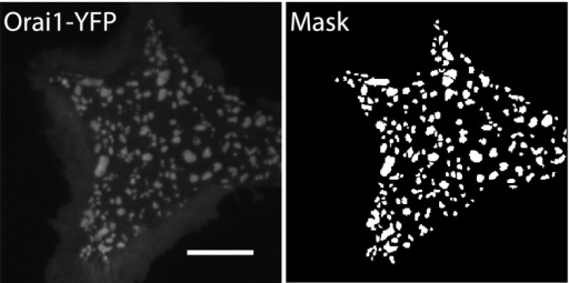 A representative Orai1-YFP image and its corresponding mask.TIRF image was acquired as described in Figure 6, and Orai1-YFP cluster boundaries were automatically detected using a localized thresholding method in Matlab. Shown here is a representative image and its corresponding binary cluster mask.DOI:http://dx.doi.org/10.7554/eLife.00802.017