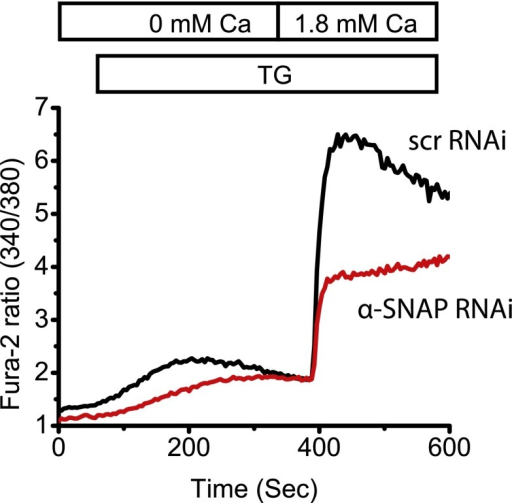 α-SNAP depletion inhibits SOCE in Stim1-Orai1 over-expressing cells.Average Fura-2 ratios of Orai1-Stim1 expressing HEK 293 cells transduced with α-SNAP RNAi (red) or scr RNAi (black) and stimulated with TG to measure SOCE. (n = 3)DOI:http://dx.doi.org/10.7554/eLife.00802.019