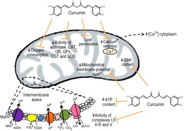 Curcumin is able to prevent mitochondrial dysfunction associated to renal injury. Curcumin is able to prevent lipid peroxidation and the decrease in the following mitochondrial determinations: oxygen consumption, activity of complexes I, II, II-III and V, activity of aconitase and antioxidant enzymes, GSH content, membrane potential, calcium retention and ATP content [51]. GSH (Glutathione), SOD (superoxide dismutase), CAT (catalase), GPx (glutathione peroxidase), GST (glutathione-S-transferase), GR (glutathione reductase), NAD+ (nicotinamide adenine dinucleotide), NADH (nicotinamide adenine dinucleotide, reduced form), FAD+ (flavin adenine dinucleotide), FADH2 (flavin adenine dinucleotide, reduced form), ATP (adenosine triphosphate), ADP (adenosine diphosphate).