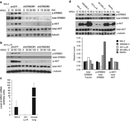 NRG1 induces ERBB3-dependent AKT phosphorylation in MA-2 and 451Lu-R cells in vitro. (a, b) MA-2 (a) and 451Lu-R (b) cells were stimulated with NRG1 for 0, 15, 30, 60 or 120 min. Cells were lysed and probed for phospho-ERBB3, total ERBB3, phospho-AKT or total AKT. γ-tubulin was used as a loading control. (c) qRT–PCR analyses of Nrg1 mRNA in the mouse lungs and in MA-2 or 451Lu-R cells. Three independent experiments were performed and graphed. (d) A panel of melanoma cell lines were stimulated with NRG1 for 0, 15 or 30 min. Cells were lysed and probed for phospho-ERBB3, total ERBB3, phospho-AKT or total AKT (top panel). γ-tubulin was used as a loading control. Band intensities were quantified by the ImageJ software (bottom panel).