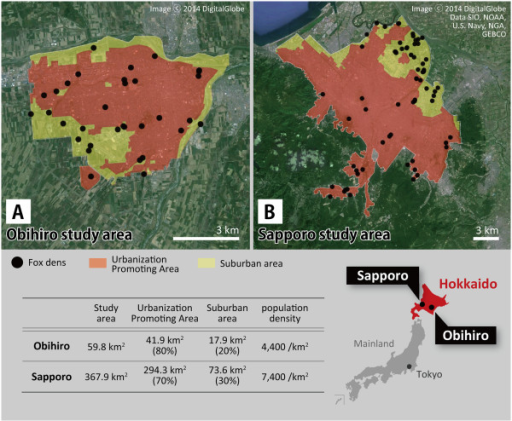 Maps showing the landscape structures and fox den distributions in the two study areas. Panel A shows Obihiro study area and panel B shows Sapporo study area. Each study area consists of Urbanization Promoting Area (orange area) and surrounding suburban area (yellow area). Black dots in the maps indicate red fox dens.