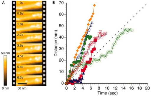 High speed AFM imaging of Trocoderma reesei Cel7A cellulase acting on crystalline Iα cellulose. (A) AFM topographs of the same area of the cellulose crystal imaged at intervals of 0.9 s revealing different localization of individual cellulases. (B) Time dependence from the initial position of individual cellulase positions when acting on cellulose crystal as deduced by image processing of HS-AFM topographs. The colored symbols reflect data extracted from individual enzymes whereas the dotted line depict an average velocity as reported (Igarashi et al., 2009). Reprinted with permission from Igarashi et al. (2011). Copyright (2011) AAAS.