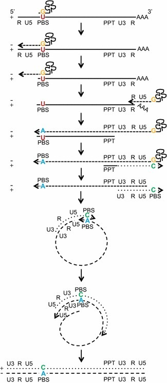 Model of tRNA-mediated mismatched integration of the PBS following viral reverse transcription. Proposed model of the method by which the mismatched pairing in the primer binding site is generated and integrated into the host genome. The tRNALys3 binds the viral PBS and functions as a primer for the initiation of RT but retains a mismatched base to wild type SIVmac239 with a guanine to uracil (G/U) pairing. Reverse transcription progresses with the tRNA-primed U5 region disassociating from the viral RNA PBS, and reannealing to its 3′ end and continuing transcription through the PBS. Following complete RNAseH digestion of the parental RNA (except the PPT, which subsequently acts as a reverse primer for RT), the nascent double stranded DNA circularizes and uses itself as template to complete transcription. Integration of the resulting double stranded viral DNA occurs with a mismatched base containing cytosine and adenine (C/A) at position 860 of the PBS. The base is generated from the primer is a C (green) and the suboptimal base is retained as an A (blue) on antisense strand which encodes a T in viral progeny. Length of viral genome not drawn to scale.