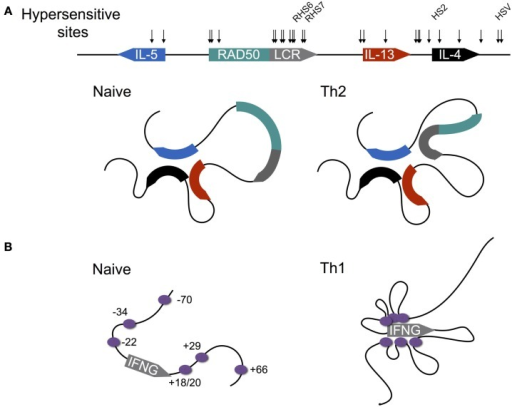 Differentiation-dependent chromatin looping of the type 2 and interferon gamma loci. (A) In naïve CD4+ T cells, the promoters of the genes encoding IL-4, IL-5, and IL-13 are clustered together. Following Th2 differentiation, the locus control region (LCR) contained within a 3′ intron of the Rad50 gene loops onto the clustered promoters, licensing cytokine expression. DNAse1 hypersensitive sites are shown by arrows, with sites shown to be critical for cytokine expression named. (B) In contrast to the type 2 locus, chromatin loops at the murine interferon-gamma (IFNG) locus are acquired as naïve CD4+ T cells differentiate to the Th1 fate. Enhancers are shown by purple circles with their coordinates shown relative to the transcription start site (0 kb).