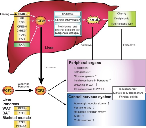 Regulations and functions of FGF21 signal representing a possible link between FGF21, non-alcoholic fatty liver disease, endoplasmic reticulum stress, and chronic inflammation in the liver. FGF21 is expressed in the liver, pancreas, adipose tissue, and muscle in response to various environmental cues. Several recent evidences indicate that hepatic FGF21 expression is also regulated by endoplasmic reticulum stress, chronic inflammation, and epigenetics, all of which are correlated with the pathogenesis of non-alcoholic fatty liver disease (NAFLD). Plasma FGF21 is primarily secreted from the liver and acts in both peripheral organs and the central nervous system as a regulator of multiple biological contexts that improve NAFLD, obesity, dyslipidemia, and insulin insensitivity.