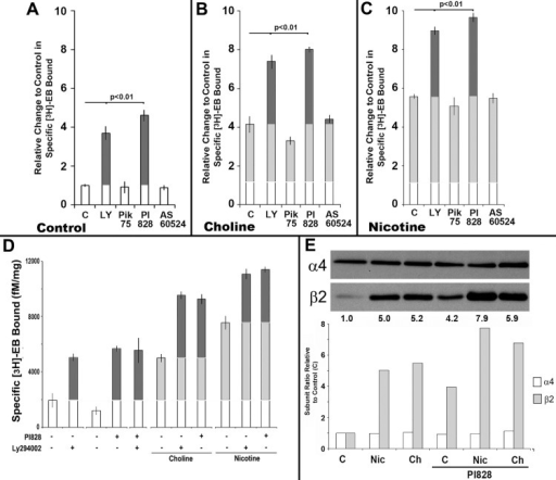 Inhibition of the PI3Kβ isoform produces ligand-independent [3H]Eb receptor upregulation and enhances upregulation produced by choline and nicotine.A-C) The results from measurements of stably transfected 293 cells that were either not treated (C) or treated with the PI3K inhibitors LY294002 (LY, broad range), PIK75 (PI3Kα), PI828 (PI3Kβ), or AS60524 (PI3Kγ) as in (A), or in the presence of (B) choline or (C) nicotine as normalized to the control in (A). The specific [3H]Eb binding to membranes from these cells was measured for 3 independent experiments, the results normalized to the average no-treatment control value of 1.0 and all values from each experiment were then summed. D) Experiments similar to those in Panels A-C tested the impact to combining LY294002 and PI828 on upregulation of [3H]Eb binding or enhancement of upregulation produced by either choline or nicotine as indicated by + signs indicating addition of the agent. Upregulation relative to the control for each group is in light grey and enhancement of choline or nicotine upregulation is in dark grey. Error bars = +/- SEM. The significance values (P) are calculated from Student's t-test of the indicated pairing. E) An example of a representative western blot showing the relative expression of α4 or β2 subunits in crude membrane fractions of cells after receiving the treatment as labeled. Nic, nicotine; Ch, choline. The ratio of the band density for each subunit was measured, normalized to the control (1.0) and then plotted for each treatment. Above each lane is the change in the β2/α4 ratio calculated after normalization.