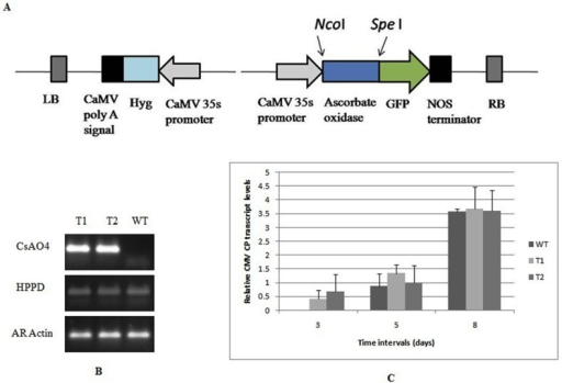 Overexpression of CsAO4 in A. thaliana; Analysis of transgene integration and effect of overexpression on CMV infection.A) Diagrammatic representation of CsAO4 constructs in pCAMBIA1302 vector as GFP fusion product. CaMV 35S promoter: Cauliflower mosaic virus 35S promoter, GFP: Green fluorescent protein, Hyg: Hygromycin, LB: left border, RB: right border. B) Validation of CsAO4 transgene expression in Arabidopsis transgenic lines and WT by RT-PCR. Arabidopsis actin (AR Actin) was used as an internal control, HPPD (4-Hydroxy phenyl pyruvate dioxygenase) is a single copy gene in Arabidopsis and CsAO4 is the cucumber Ascorbate oxidase 4. C) Relative CMV CP accumulation in CsAO4 overexpressing Arabidopsis lines and WT plants. Relative CP accumulation in infected transgenic plants was calculated relative to CMV infected WT plants at 3 dpi. The 18S RNA gene was used to normalize all data and error bars represent the standard deviation about the mean for three independent biological replicates. Relative expression was plotted as Log2 values; dpi—days post inoculation.