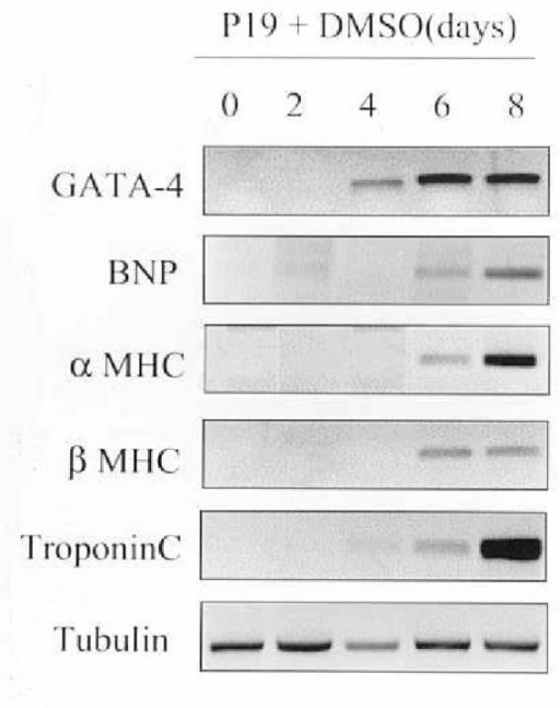 Expression of genes during differentiation of P19 cells into cardiac myocytes. P19 cells were incubated with 1% DMSO for up to 8 days. At various times, 0–8 days post DMSO addition, cells were harvested and mRNA levels of GATA-4, BNP, α MHC, β MHC, troponin C and tubulin were determined by quantitative RT-PCR analysis.