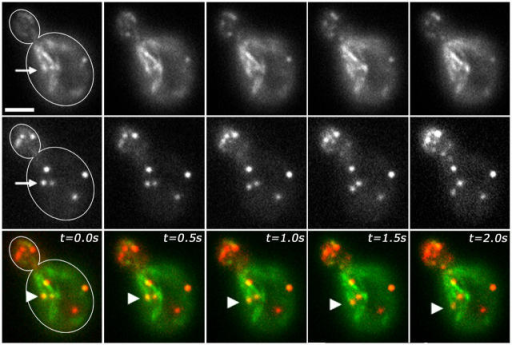 An actin patch undergoing retrograde movement remains associated with an elongating actin cable at a fixed point. Mid-log phase yeast expressing Abp1p-HcRed and Abp140p-GFP were studied using simultaneous two-color imaging as for Fig. 4. Images shown are still frames from a time-lapse series showing Abp140p-GFP–labeled actin cables in the top row, Abp1p-HcRed–labeled actin patches in the middle row, and a merged image showing Abp140p-GFP in green and Abp1p-HcRed in red in the bottom row. Arrowheads in the merged images show the change in position of an actin patch that is associated with the tip of an elongating actin cable as both of these structures undergo linear, retrograde movement. Arrows mark the position of the tip of the actin cable at t = 0 (top row), and the position of the actin patch at t = 0 (middle row). Bar, 2 μm.