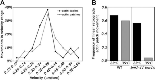 Retrograde movement of actin patches occurs with the same velocity as retrograde actin cable movement and requires actin cables. (A) The velocity of actin cable and patch movement. Wild-type cells expressing either Abp140p-GFP or Abp1p-GFP from the chromosomal loci were grown to mid-log phase in lactate medium. Cells were imaged by time-lapse fluorescence imaging and the velocities of linear, retrograde movements of actin cables (n = 41) and actin patches (n = 42) was determined as described in Materials and methods. (B) Destabilization of actin cables results in loss of linear, retrograde actin patch movement. Abp1p was tagged at its chromosomal locus with HcRed in wild-type cells and yeast bearing a deletion of the BNR1 gene and a temperature-sensitive mutation in the BNI1 gene (bni1-11 bnr1Δ). Cells were grown to mid-log phase in lactate medium. At t = 0, aliquots of the liquid culture were removed and either maintained at permissive temperature (RT) or incubated at restrictive temperature (35°C) for 2 min. Time-lapse imaging of Abp1p-HcRed–labeled actin patches was performed at 23 and 35°C. The frequency of linear retrograde actin patch movement was defined by the number of linear retrograde actin patch movements per mother cell in the 20-s imaging period (n = 67–108 cells). Linear retrograde movement was defined as a movement away from the bud neck in the mother cell over three consecutive time-points.