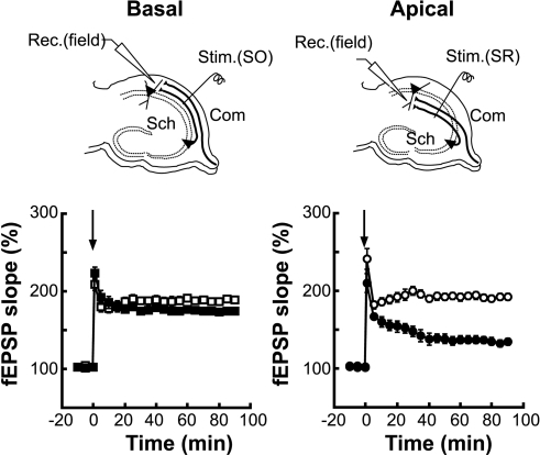 Developmental asymmetry of LTP at hippocampal CA1 synapses.Schematic diagrams of the arrangement of electrodes for extracellular recording. To activate basal (Basal) or apical dendritic synapses (Apical), a stimulating electrode was placed at the stratum oriens [Stim.(SO)] or stratum radiatum [Stim.(SR)] of area CA1, respectively. fEPSPs were recorded with an extracellular electrode [Rec.(field)]. LTP was induced with tetanic stimulation at time 0 (arrow). Open and filled symbols represent 7- to 9-week-old mice and postnatal 9- to11-day-old mice, respectively. Square and circle symbols indicate recordings from basal and apical dendritic synapses, respectively. Error bars represent s.e.m. (n = 7 to 9).