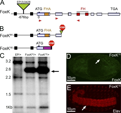 Molecular characterization of FoxK mutant alleles. (A) The P element EP(3)3428 is inserted in 676 bp 5′ of the ATG (0) of FoxK. Red arrowheads indicate the primers used for sequencing exons 2–5. (B) Both FoxK44 and FoxK16 carry a deletion of 2 bp at the insertion site of EP(3)3428 (−676ΔTA). FoxK44 flies also contain a reinsertion of a fragment of the P element in exon 3 (green) that generates a premature Stop codon. In FoxK16, a deletion in exon 2 generates a new ORF (purple) containing a Stop codon. (C) Southern blot hybridized with a probe covering the entire FoxK coding region shows an extra band of 2.6 Kb in FoxK44 and FoxK16 (arrow). (D and E) Stage 15 FoxK16 homozygous embryos do not stain with anti-FoxK (D, arrow), but the ventral nerve cord stains with anti-Elav and shows normal morphology (E, arrow).