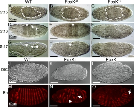Zygotic FoxK activity is necessary for midgut differentiation. Midgut development in wild-type (A, D, and G), FoxK44 (B, E, and H), and FoxK16 (C, F, and I) embryos. In FoxK44 and FoxK16 homozygous embryos, the single vesicle of the midgut develops normally until stage 15 (A–C, dashed lines). During stages 16 and 17, wild-type embryos develop four vesicles after the formation of the midgut constrictions (D and G, arrowheads). However, FoxK44 homozygous embryos only develop one midgut constriction (E and H, arrowheads), whereas FoxK16 embryos never develop midgut constrictions (F and I). (J–O) Maternal FoxK is critical for early embryonic development. Differential interference contrast (J–L) and confocal images showing Engrailed (En) expression (M–O) of a normal embryo (J and M) and two different embryos expressing FoxKi under a maternally expressed Gal4-VP16 fusion (tub-Gal4-VP16/UAS-Foxki). The segmental Engrailed stripes are fused (N, arrowhead), split (N and O, arrows), and generally disorganized along the anteroposterior axis.