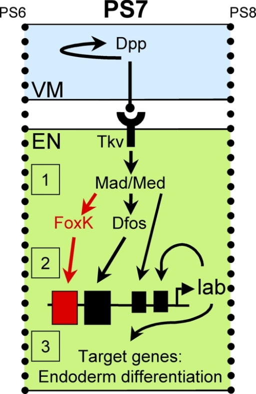 Dpp signaling events in the endoderm. Diffusion of Dpp from the visceral mesoderm (VM) activates its receptor, Tkv, in the underlying endoderm (EN), which leads to the formation of transcriptionally active Mad–Med complexes (1). Mad and Med then regulate the expression of FoxK and Dfos, which are critical for the initiation of lab expression by binding to its promoter (2, large boxes). Mad may contribute to lab activation, whereas Mad and Lab are necessary for lab maintenance. Finally, Lab controls the expression of target genes critical for copper cell differentiation (3).