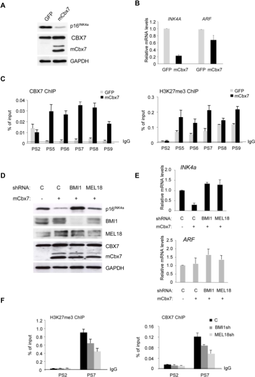 Involvement of BMI1 and MEL18 in mCbx7-mediated repression of INK4a.A. Immunoblot analyses of FDF cells infected with retroviruses encoding either mCbx7 or GFP (negative control) showing down-regulation of p16INK4a. B. qRT-PCR analyses of INK4a and ARF RNAs in cells described in panel A. C. ChIP analyses of CBX7 (mouse+human) and H3K27me3 levels across the INK4a-ARF locus in cells expressing GFP or mCbx7, using the indicated primer sets (as in Fig. 3). D. The mCbx7 expressing cells were infected with lentivirus-based shRNA vectors targeting BMI1, MEL18, or an irrelevant control (C). Effects on the respective target proteins and on p16INK4a were assessed by immunoblotting with the indicated antibodies. GAPDH was used as a loading control. E. qRT-PCR analyses of INK4a and ARF RNAs in cells described in panel D. F. ChIP analyses of CBX7 (mouse+human) and H3K27me3 in cells expressing shRNAs against BMI1 or MEL18. Anti-rabbit IgG was used as a negative control. The analyses were confined to primers corresponding to the proximal part of INK4a exon 1α (PS7) and ARF exon 1β (PS2).