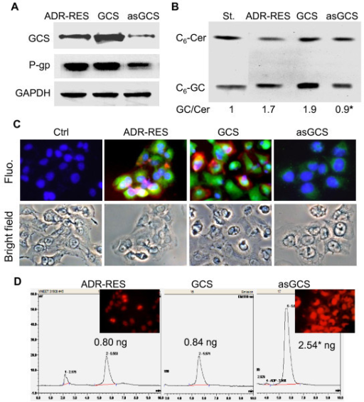 Effects of GCS on P-gp in NCI/ADR-RES Transfectants. (A) GCS and P-gp proteins detected by Western blot. Detergent-soluble protein (50 μg/lane) from NCI/ADR-RES (ADR-RES), NCI-ADR-RES/GCS (GCS) and NCI/ADR-RES/asGCS (asGCS) cells was immunoblotted with anti-GCS or anti-P-gp antibody. GAPDH was used as loading control. (B) Ceramide glycosylation catalyzed by GCS. Cells were incubated with NBD C6-Cer (100 nM) in 1% BSA RPMI-1640 medium, at 37°C for 2 hr. C6-Cer and C6-GlcCer were identified on chromatograms with commercial standard (St.) and measured using spectrophotometry. *, p < 0.001 compared to ADR-RES cells. (C) Immunostaining of GCS and P-gp. Cells were incubated with anti-human GCS (green) and anti-P-gp (red) following addition of Alexa 488- and Alexa 667-conjugated secondary antibodies. DAPI in mounting solution was used for nucleus counterstaining (blue). Ctrl, NCI/ADR-RES cells were incubated with the secondary antibodies alone, as specificity control; Fluo, merged fluorescence microphotograph (× 200). (D) Doxorubicin accumulation. After 1 hr incubation with doxorubicin (0.1 mg/ml), cellular doxorubicin was documented by fluorescence microscopy (× 200) and analyzed by HPLC, following methanol extraction. Doxorubicin amount was normalized to 100,000 cells. *, p < 0.001.