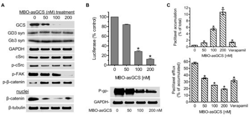 Silencing GCS Represses MDR1 Expression by Decreasing cSrc/β-Catenin Signaling. After MBO-asGCS treatments (0, 50, 100, 200 nM), drug resistant NCI/ADR-RES cells were cultured in 10% FBS RPMI-1640 medium for 7 days. The NCI/ADR-RES cells were incubated with verapamil (10 μg, 2 hr) in 5% FBS RPMI-1640 medium to inhibit P-gp function. (A) Western blots. Equal amounts of total cellular proteins or nuclear proteins (50 μg/lane) were resolved by 4-20% gradient SDS-PAGE and immunoblotted with indicated primary antibodies. GD3 syn, GD3 synthase; Gb3 syn, Gb3 synthase; p-cSrc, phosphorylated cSrc; p-FAK, phosphorylated FAK; p-β-catenin, phosphorylated β-catenin. (B) MDR1 expression. MDR1 promoter activity (top panel) and P-gp protein (bottom panel) were assessed as described in Methods, after 7 days of MBO-asGCS treatments. *, p < 0.001 compared with vehicle. (C) Paclitaxel accumulation and efflux. Cells were incubated with Flutax-2 (0.5 μM) in medium at 37°C for 2 hr to measure paclitaxel accumulation (top panel). After washing with ice-cold PBS, cells were incubated with fresh medium for an additional 2 hr to measure paclitaxel efflux (bottom panel). *, p < 0.001 compared with vehicle treatment.