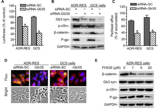 Gb3 Synthesis and β‐Catenin Recruitment Are Involved in MDR1 Transactivation. To silence Gb3 synthase, cells were transfected with siRNA-Gb3S (100 nM) or control siRNA (siRNA-SC) twice and grown in 10% FBS RPMI-1640 medium for 7 days. (A) MDR1 promoter activity. *, P < 0.001 compared with siRNA-SC. (B) Western blot. Gb3 syn, Gb3 synthase; p-cSrc, phosphorylated cSrc. (C) Cellular efflux. *, p < 0.001 compared with siRNA-SC. (D) Immunostaining. Cells were incubated with anti-human Gb3 synthase (red) and anti-P-gp (green) following addition of Alexa 667- and Alexa 488-conjugated secondary antibodies. DAPI in mounting solution was used for nucleus counterstaining (blue). Fluo., merged fluorescence microphotograph (x 200). (E) β-catenin/Tcf4 on P-gp expression. NCI/ADR-RES cells were exposed to FH535, β-catenin/Tcf4 inhibitor in 5% FBS medium for 24 hr.