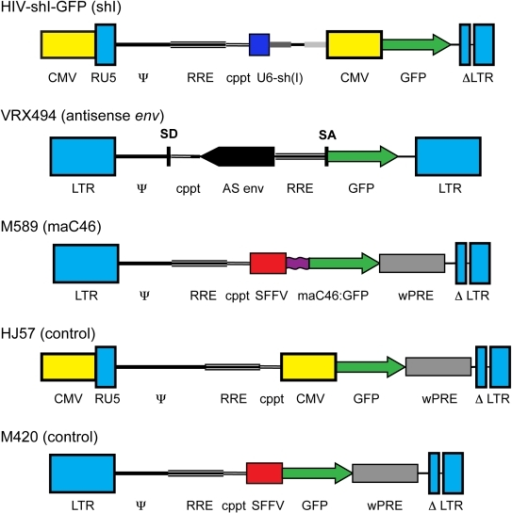 Schematic diagrams of the viral transfer plasmids.The lentiviral vectors HIV-shI-GFP, VRX494, M589, HJ57, and M420, are based on HIV-1NL4-3 or HIV-1HXB2. The viral inhibitors encoded by each of the experimental vectors are noted in parentheses. Where indicated, vectors use a heterologous CMV promoter to initiate transcription of the genomic RNA with a self-inactivating 3′ LTR. The VRX494 vector uses a functional HIV-1 LTR, which is upregulated after viral infection [36]. All vectors contain cis-acting regulatory domains (the ψ packaging signal, the central polypurine tract [cppt], the Rev response element [RRE], and, in some cases, the Woodchuck post-transcriptional regulatory element [wPRE]), and eGFP. The vector HIV-shI-GFP contains the U6 promoter regulating a shRNA targeting exon 1 of HIV-1 tat and rev (shI) [10]. The lentiviral vector VRX494 contains 937 bp of antisense (AS) HIV-1 envelope, and eGFP transcriptionally regulated by the HIV-1 LTR [32]. The vector M589 contains an internal SFFV promoter regulating expression of the C46 heptad repeat-anchored with a linker and transmembrane domain:GFP fusion protein (maC46:GFP). The control vectors HJ57 and M420 do not contain an inhibitor cassette.