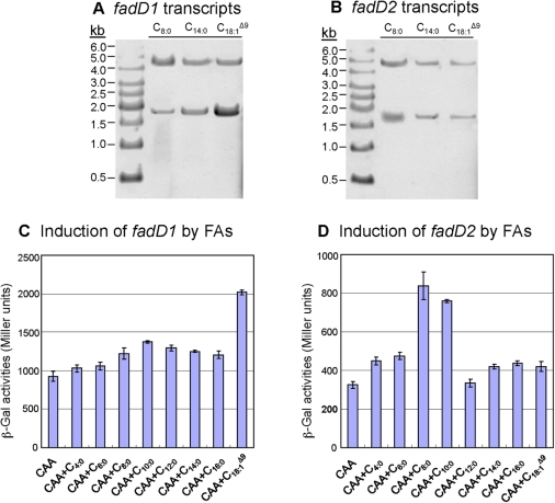 Transcriptional profile of fadD1 and fadD2 in various FAs.For a short- (C8:0), medium- (C10:0), and long-chain FA (C18:1Δ9), northern blot analysis indicated two possible transcripts for both fadD genes when probed with either fadD1 (A) or fadD2 (B). Gene-fusion studies of strains P518 (PfadD1-lacZ) and P520 (PfadD2-lacZ), grown to mid-log phase, showed differential expression of fadD1 and fadD2 in the presence of different FAs (C and D). (C) fadD1 was up-regulated in the presence of the unsaturated LCFA (C18:1Δ9), while fadD2 expression was significantly increased in the presence of shorter chain FAs (C8:0, C10:0) (D). For (C) and (D), all cultures had identical growth-rates and overall cell densities (data not shown).