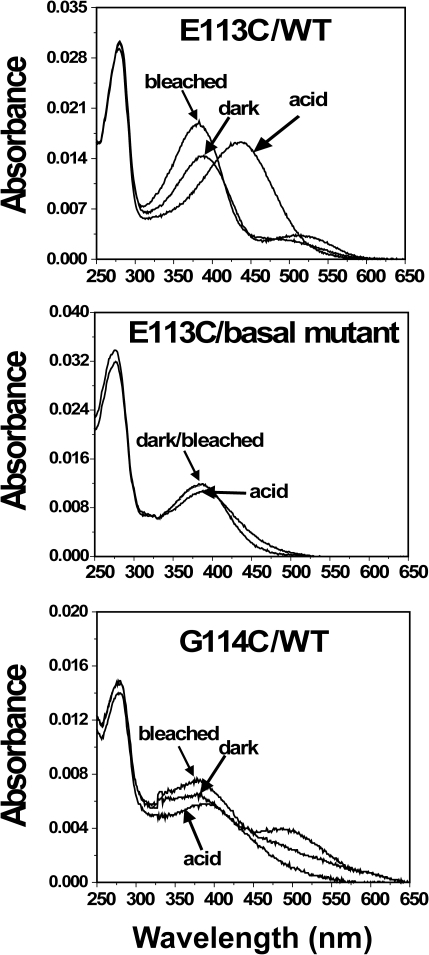 Analysis of UV-vis spectra of cysteine mutants E113C/WT, E113/Basal mutant, and G114C/WT.Mutants were purified from COS-1 cells after regeneration with 25 µM 11-cis-retinal. UV-vis spectra were recorded in the dark, after acidification, and after illuminating the samples for 30 sec at 20°C.