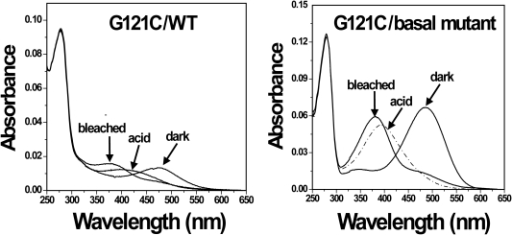 Analysis of UV-vis spectra of cysteine mutants G121C/WT and G121C/Basal mutant.Mutants were purified from COS-1 cells after regeneration with 25 µM 11-cis-retinal. UV-vis spectra were recorded in the dark, after acidification, and after illuminating the samples for 30 sec at 20°C.