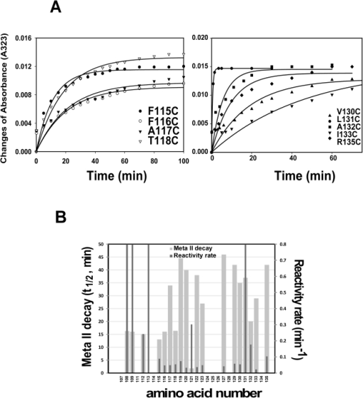 Comparison of PDS labeling rate among cysteine mutants and relationship analysis of PDS labeling rate with Meta II decay.A) Rates of cysteine reactivity with 4-PDS were evaluated in mutants (F115/, F116/, A117/, T118/, V130/, L131/, A132/, I133/, and R135/Basal mutant). The reaction was carried out with 0.5 µM of rhodopsin mutant and 25 µM 4-PDS in phosphate buffer (pH8.0) and 0.05% DM at 20°C. Time-dependent changes in absorbance at 323 nm after photoactivation were plotted. B) Rates of cysteine reactivity with 4-PDS (dark gray) and Meta II decay (light gray) in relationship to the amino acid position.