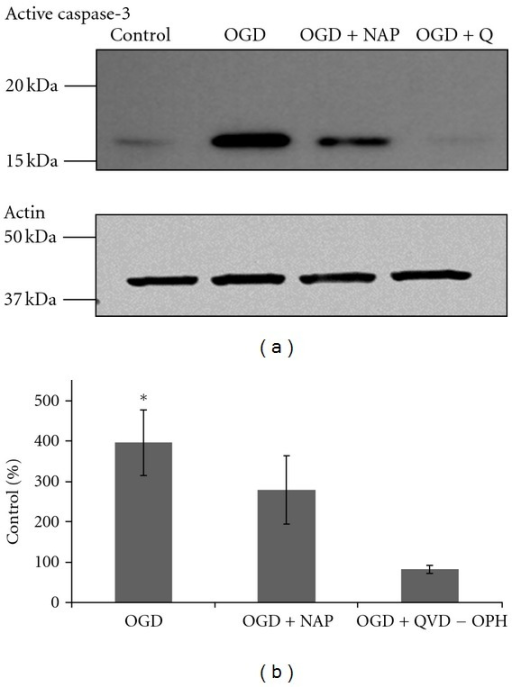 An increase in active caspase-3 levels induced by 2 hours of OGD was diminished by NAP treatment (10−5 M). Cultures were treated with 10−5  M NAP or with 20 μM QVD-OPH (broad spectrum caspase inhibitor) exposed to OGD insult for 2 hours. Proteins were extracted and analyzed using immunoblot with a specific antiactive caspase-3 antibody. A representative blot of active caspase-3 antibody is exhibited in (a). (ANOVA with post hoc LSD, P ≤ 0.05) (b).