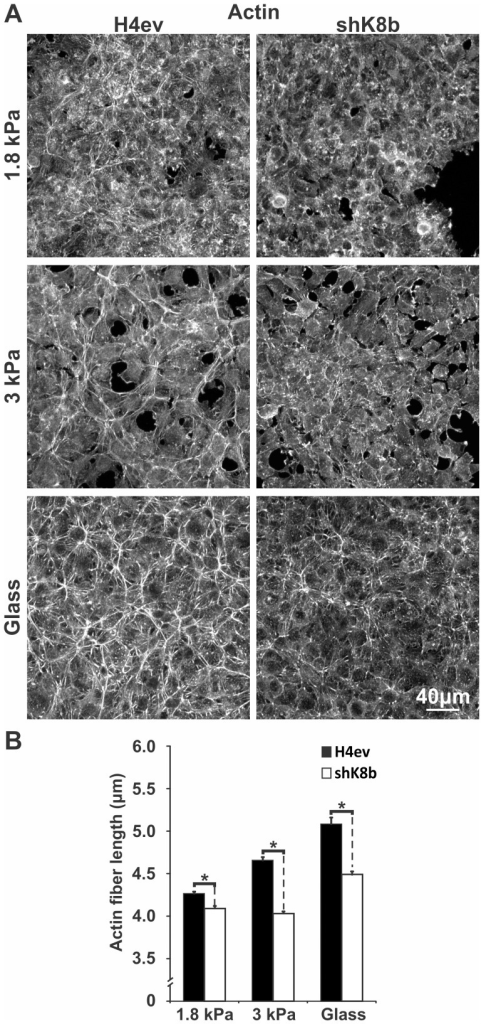 Actin fiber organization in H4ev and shK8b cells seeded on substratum of increasing rigidity.(A) Maximum projection confocal images of fibrillar actin in 3-day monolayers of cells seeded on FN-gels of increasing rigidity or in FN-coated dishes, showing distinct actin organizations in H4ev versus shK8b monolayers. In both cell monolayers, the number and density of actin fibers increase with substratum rigidity. (B) Average actin fiber length estimates from the corresponding seeding conditions, showing shorter actin fibers in shK8b compared to those in H4ev cells. Bars denote SE. *, p<0.05 for H4ev versus shK8b.
