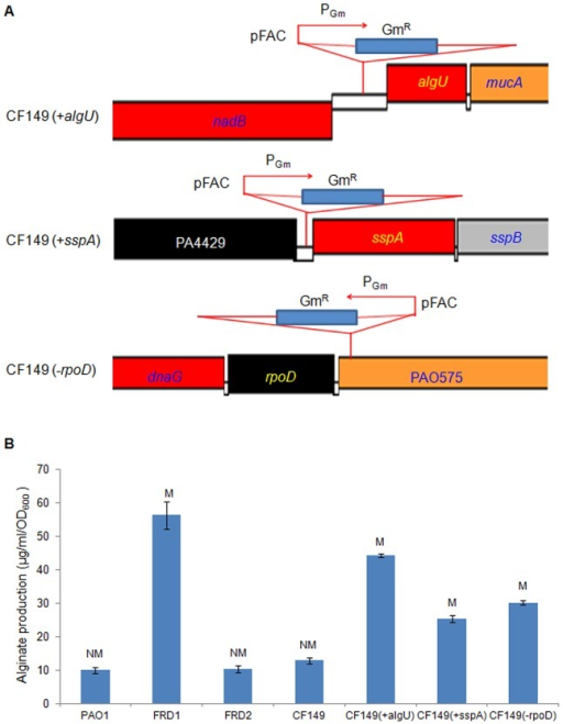 Increased alginate production in three mutants of CF149 with an algU-suppressor mutation.(A) Schematic diagram showing the transposon insertions of CF149 (+algU), CF149 (+sspA), and CF149 (−rpoD), respectively. (B) Alginate production of CF149 (+algU), CF149 (+sspA), and CF149 (−rpoD) in comparison to other strains of P. aeruginosa. Three mucoid mutants were identified as a result of a transposon library screen. Alginate production was measured on PIA plates after incubation at 37°C for 24 hrs. Alginate production (µg/ml/OD600) was measured as described in Materials and Methods. M and NM, represent mucoidy and nonmucoidy, respectively.