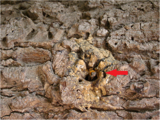 Guard bee (highlighted) at the entrance to a nest of uruçu boca-de-renda (Community of Ipiranga, state of Paraíba).