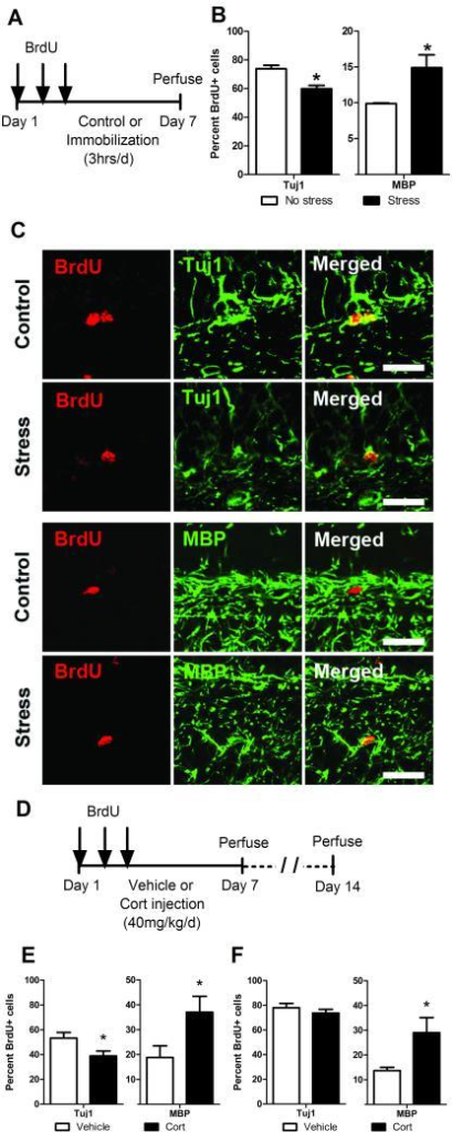 Immobilization stress or cort injections increase hippocampal oligodendrogenesis. (a) BrdU-injected adult male rats were subjected to either 1 week of daily immobilization stress or no stress (n=5 no stress control, n=6 stress). (b) IHC analysis of cell fate, quantified as the percentage of BrdU positive cells that co-label as neurons (Tuj1) or oligodendrocytes (MBP) shows that stress decreases neurogenesis and increases oligodendrogenesis. (c) Representative images of confocal analysis represents cells identified as positive for co-localization of BrdU and Tuj1 or MBP; scale bar=10 μM. (d) BrdU-injected adult male rats received daily cort or vehicle injections for 1 week and were perfused on day 7 (n=6 vehicle injected, n=6 cort injected) or day 14 (n=7 vehicle injected, n=6 cort injected). (e) IHC analysis of cell fate at day 7 shows that exposure to stress hormones (cort) decreases neurogenesis and increases oligodendrogenesis. (f) IHC analysis of cell fate at day 14 (1 week after recovery from cort treatment) shows that while neurogenesis is restored to control levels, the effects of increased oligodendrogenesis persist in cort injected animals. *p < 0.05 (mean ± SEM).