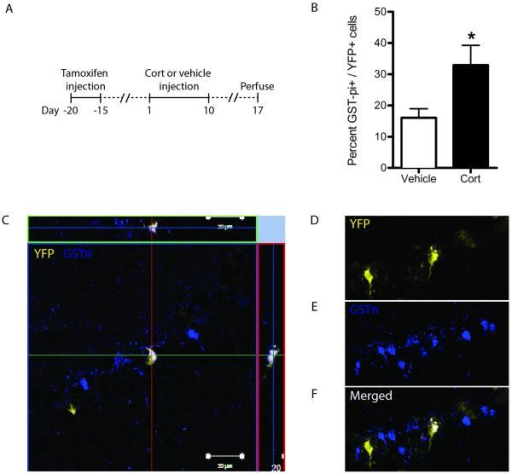 Cort increases hippocampal oligodendrogenesis from nestin lineage NSCs in vivo. (a) Nestin-Cre ERT2/RosaYFP mice were injected with tamoxifen to induce YFP reporter gene expression, injected with cort or vehicle for 10 days, and perfused 7 days later for IHC analysis. (b) Cort injection increased the percentage of YFP-labeled cells that co-labeled with the oligodendrocytic marker GST-π; n=8. (c) Representative image of an orthogonal slice of a YFP+/GST-π+ co-labeled cell as well as 3D reconstruction of an image stack of the same cell (d-f). *p < 0.05 (mean ± SEM).