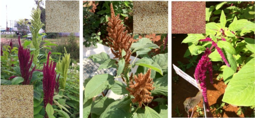 Photographs of the three grain species of Amaranthus grown on campus grounds. The plants from left to right are: A. hypochondriacus, A. cruentus, and A. caudatus, as identified by their taxonomic features including those of the inflorescence and the leaves. Amaranthus hypochondriacus contains both a red variety and a white variety (the sequenced one). Insets are the corresponding seeds obtained after two generations of growing these species on campus grounds. For A. hypochondriacus (left), the seeds from red plants are at the bottom left and those from white plants are shown at the top right.