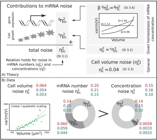 The theoretical and experimental relations between mRNA concentration and mRNA number noise and their dependency on volume. (A) Overview of theoretical relation used to analyze the data. The mRNA number noise  and mRNA concentration noise  can be decomposed into two terms; the volume-dependent noise  and gene-expression noise  (see Eq. 1). When there is homeostasis of mRNA concentration, the relation between  and  depends on the scaling of the variance in the conditional mRNA numbers. Under these conditions, the volume-dependent noise in mRNA numbers  equals the noise in the volume distribution . (B) Experimental data of the relation shown in the theoretical section (A). The different colors give the corresponding measures for the three different clones. The circle graphs show how the total mRNA number and mRNA concentration noise are decomposed. mRNA number noise is higher than concentration noise, mainly due to its volume contribution. The scaling of var(m/V) with volume for clone III is shown. The observed scaling is linear or quadratic, resulting in a deviation of ± 4% between  and . The scaling of var(m/V) with volume for clones I and II can be found in Supplemental Figure S10.